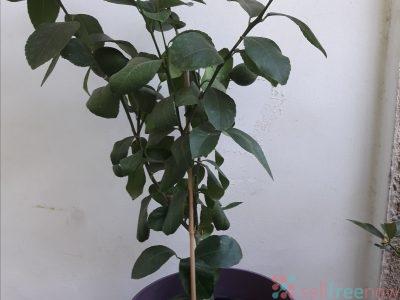 Lemon flower tree