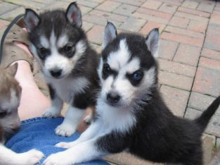 Wonderful Siberian Husky Puppies -OK