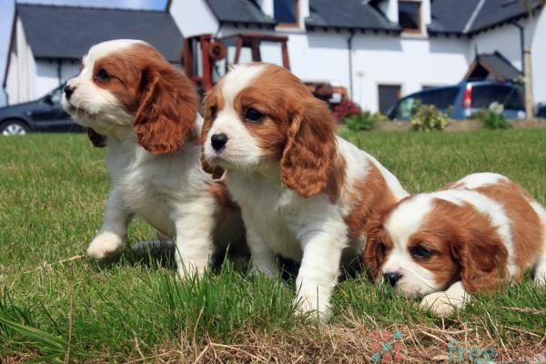 stunning king charles puppies availablbe