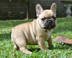 English and French bulldog puppies