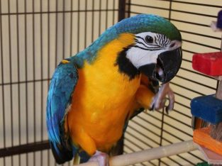 Re-home beautiful blue and gold macaw parrot