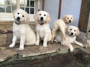 Quality Golden retriever Puppies for sale