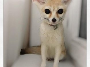 Young Fennec fox for sale