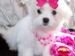 Awesome Teacup Maltese Puppies available for adopt
