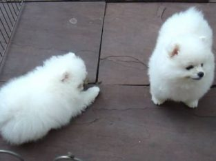 Charming teacup Pomeranian Puppies available