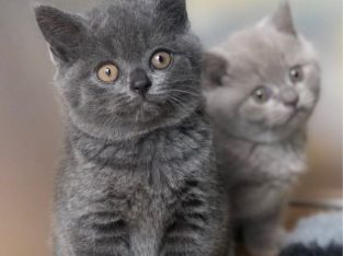 British short hair kittens available